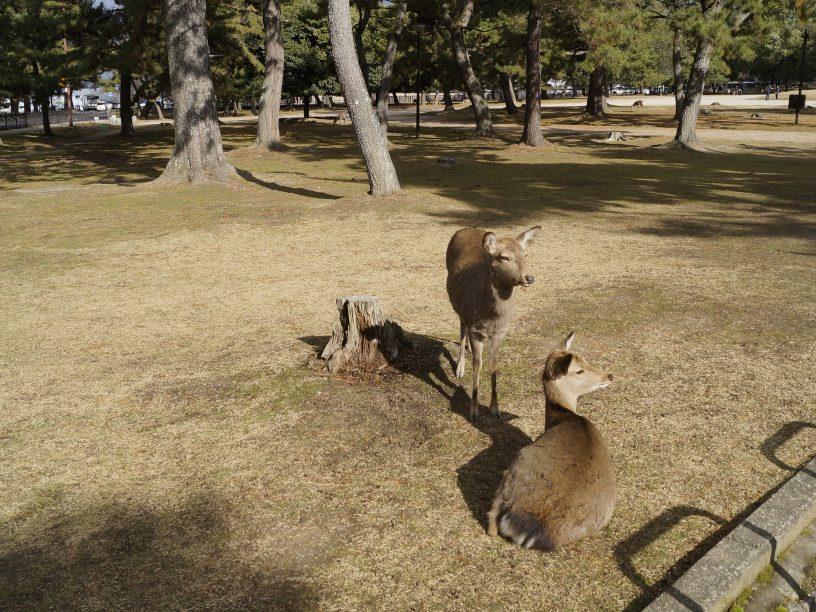 Ciervos Shika en el parque de Nara